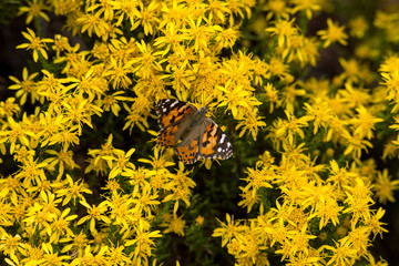 The bold colors of the Monarch Butterfly
