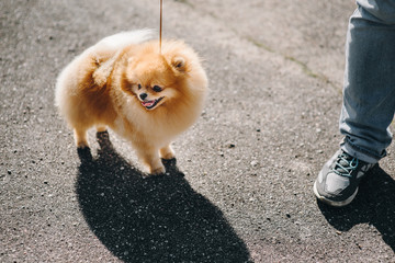 Dog breed, Pomeranian spitz