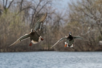 Pair of Mallards Gliding in for a Landing