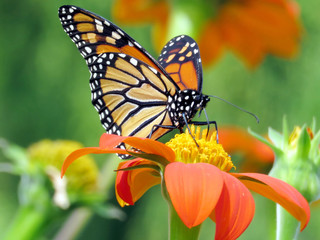 Toronto Lake Monarch Butterfly and Mexican Sunflower 2016