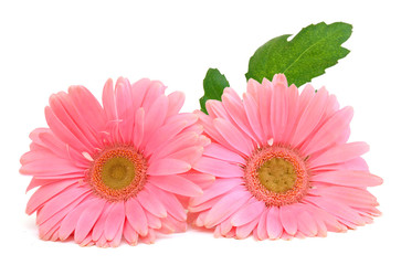 Poster Gerbera Pink gerbera flower. Isolated on white background