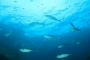 Tuna fish underwater