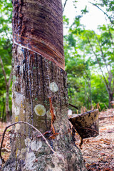 Tapping latex from a rubber tree (Hevea Brasiliensis) in tropical forest