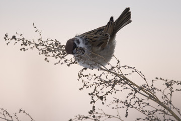 House sparrow in the wild extracts food