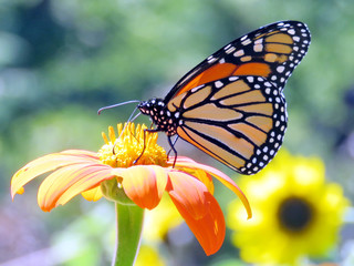 Toronto High Park the Monarch on the Mexican Sunflower 2016