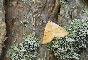 Scalloped oak, Crocallis elinguaria resting on pine bark