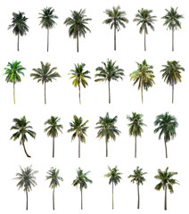 Twenty-four Palm coconut isolated on white background