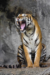 Bengal Tiger sleeps clean