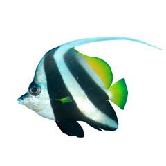 Bannerfish fish isolated on white background