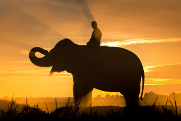 Silhouette image of people with elephant as in warm tone at the paddy field in Surin, Thailand.