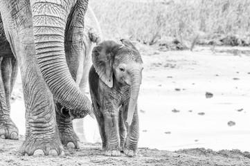 Tiny monochrome African elephant calf