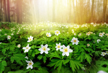 Wall Mural - Beautiful white flowers of anemones in spring in a forest close-up in sunlight in nature. Spring forest landscape with flowering primroses.