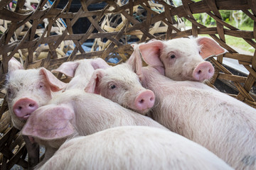 Cute piglets inside a bamboo cage, ready for transportation