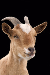 Goat on a black background