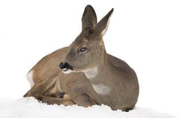 Photo sur Aluminium Roe deer