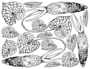 Hand Drawn of Wasabi Root, Also Known as Japanese Horseradish