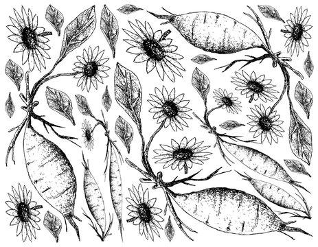 Hand Drawn of Fresh Yacon on White Background
