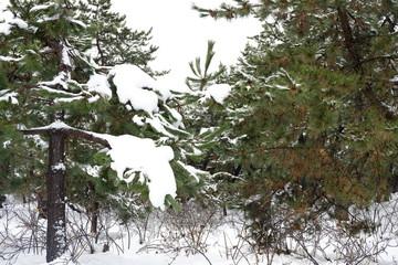 雪が積り始める松の枝
