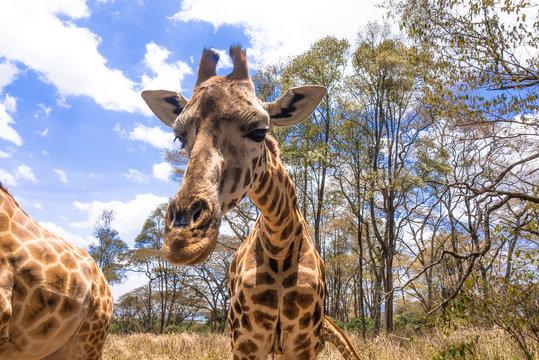 Zebra in Nairobi