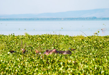 Hippo on Lake Naviasha, Kenya