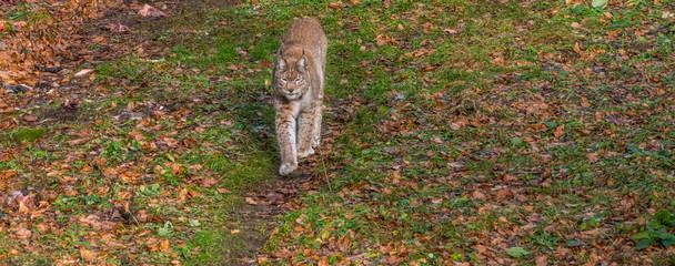 Luchs im Harzer Wald
