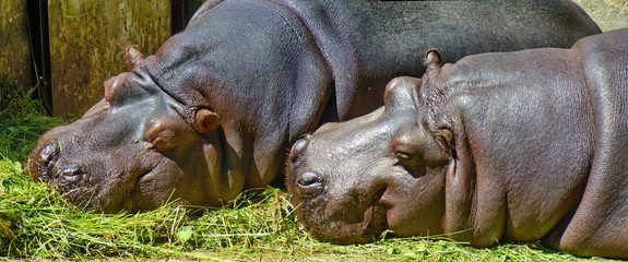 Couple of hippos having a rest