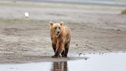 Grizzlybär am Ufer