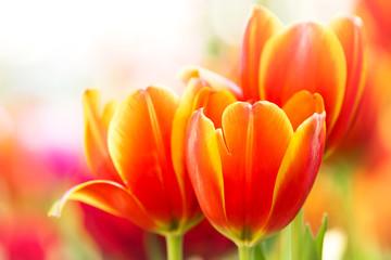 Close-up orange tulip flower in nature