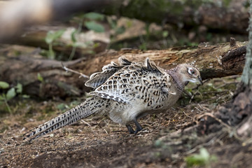 Pheasant, female in a forest, close up
