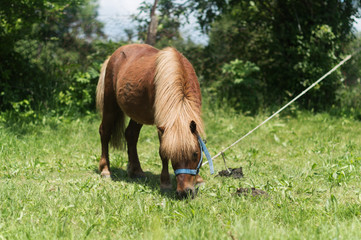 A small pony grazes on a green meadow