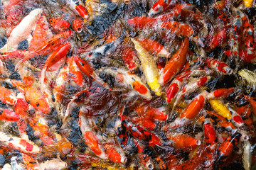 Colorful fancy Koi fish in the pond