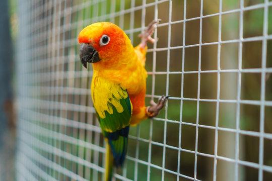 Beautiful colorful sun conure parrot birds on wire mesh