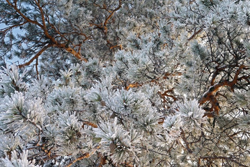 Pine branch with cones covered with frost.