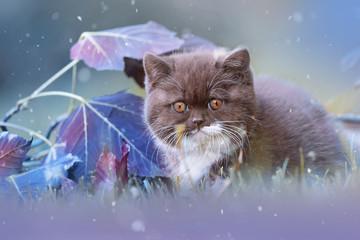 Bildschöne BKH Kitten- Britisch Kurzhaar Katze - edel