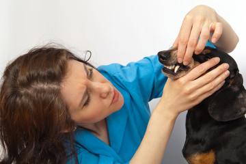 dachshund dog on examination at the dentist