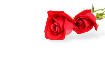 Close up image of the beautiful red roses isolated on white background with embedded clipping path.