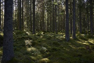 Scandinavian forest
