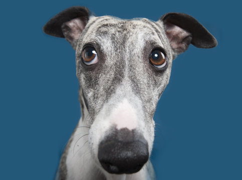 Funny whippet.