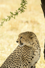 Close-up of cheetah at Serengeti National Park