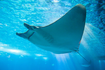 The devil fish or giant devil ray (Mobula mobular), an endangered species of eagle ray
