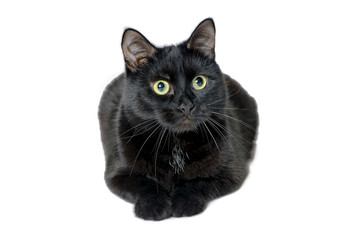 Studio portrait of black cat on white background