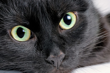 Studio portrait of the head of a young black cat