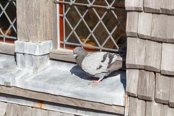 Pigeon posé sur le rebord d'une fenêtre
