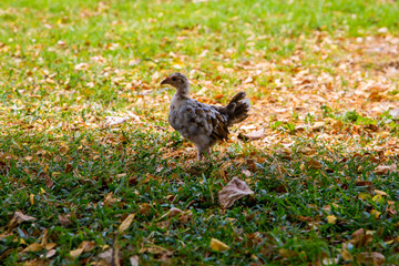 Chicken running down the field on the island of Hawaii