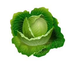 Cabbage vector 3D illustration