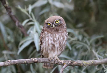 Young little owl sitting on branches of silverberry