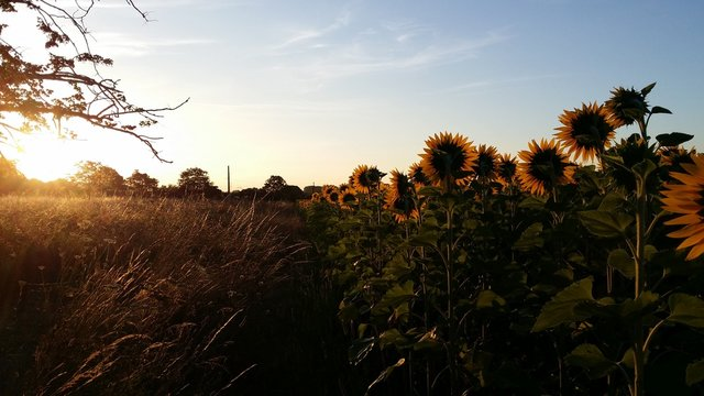 Growing Sunflowers in France Acquitaine