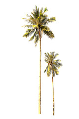 Two or twin Coconut palm trees, at sunset, Isolated on white background, Natural concept.