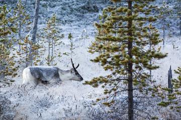 Finnland, finnisch Lappland, Rentier oder Ren, Rangifer tarandus
