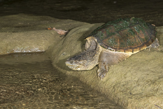 Common snapping turtle (Chelydra serpentina) going to water from a rock, Ledges State Park, Iowa, USA
